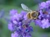 Lavender Bee II
