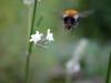 Bumblebee Lavender