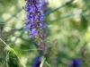 Blue Hyssop (Hyssopus officinalis)