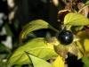 Black poisonous fruit of Deadly Nightshade (Atropa belladonna)