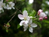 Apfelblüte 2012