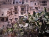 Prickly Pears and Giant Fennel, Malta